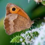 мотылек на цветущей мяте