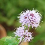 цветение мяты