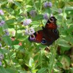 бабочка на цветущей мяте