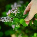 цветущая мята в руке