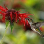 колибри у цветка монарды двойчатой