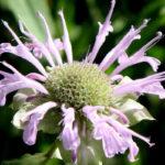 цветок дудчатой (трубчатой) монарды
