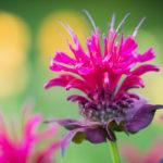 цветение монарды (бергамота)