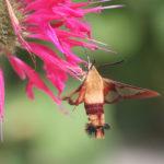 мотылек у цветка монарды (бергамота)