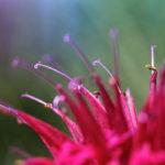 тычинки цветка монарды (бергамота)
