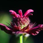 цветок монарды (бергамота)