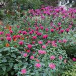 цветущая клумба монарды