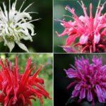 белый, розовый, красный и сиреневый цветы монарды