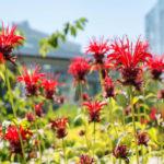 цветущая монарда (бергамот)