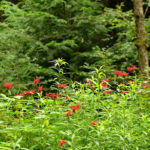 монарда в парке, лесу