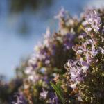 цветущий розмарин