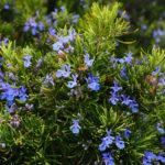 цветущий розмариновый куст