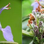 бутоны и цветок розмарина крупным планом
