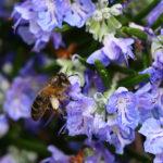 пчела на цветах розмарина