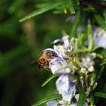 пчела на цветке розмарина