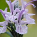 цветок розмарина лекарственного