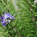 цветы и веточки розмарина