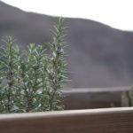 выращивание розмарина дома