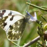 бабочка на веточке розмарина