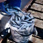 улов салаки в ведерке