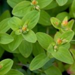 Зверобой камчатский (Hypericum kamtschaticum)