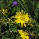Зверобоой пятнистый (Hypericum maculatum)
