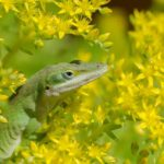 ящерица в цветах зверобоя