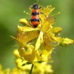 жук на цветах зверобоя
