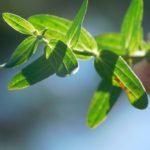 Листья зверобоя продырявленного (Hypéricum perforátum)