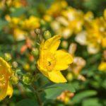 цветение зверобоя