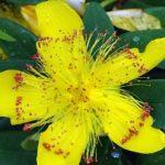 цветок зверобоя