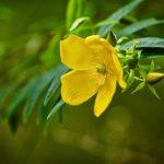 цветок декоративного зверобоя