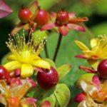 цветы и плоды зверобоя