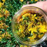 цветы зверобоя в банке