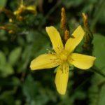 Зверобой горный (Hypéricum montanum)
