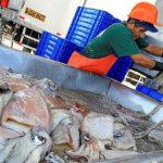 переработка кальмаров