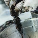как добывают чернила кальмаров