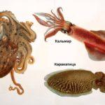 отличия кальмара от осьминога и каракатицы