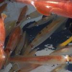 кальмары плавают в воде