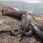 пойманный кальмар на берегу