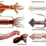 виды кальмаров