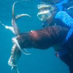 пойманный водолазом кальмар Гумбольдта