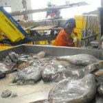промышленная переработка кальмаров