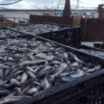 Улов корюшки в контейнерах в порту