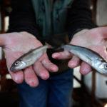 две рыбины корюшки в руках