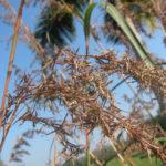 Восточно-индийское лимонное сорго (Cymbopogon flexuosus)