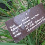 Цитронелла (Cymbopogon nardus)