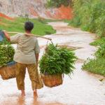 Урожай лемонграсса во Вьетнаме