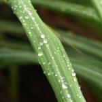 роса на листе лемонграсса