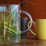 Заваривание цимбопогона (лимонника, лемонграсса) в стеклянном чайнике